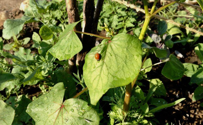 Käfer, Mais und Erdbeeren